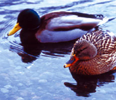 Image: Winter waterfowl