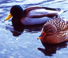 Image: Winter waterfowl